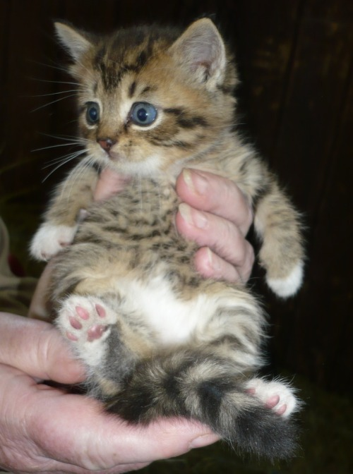 Katt_tabby_hand