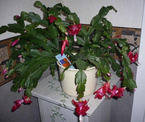 Nov_kaktus